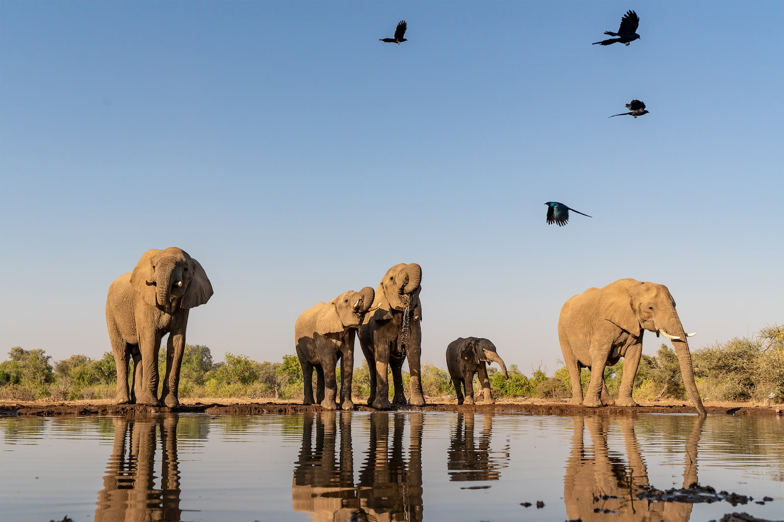 Elephants and Starlings