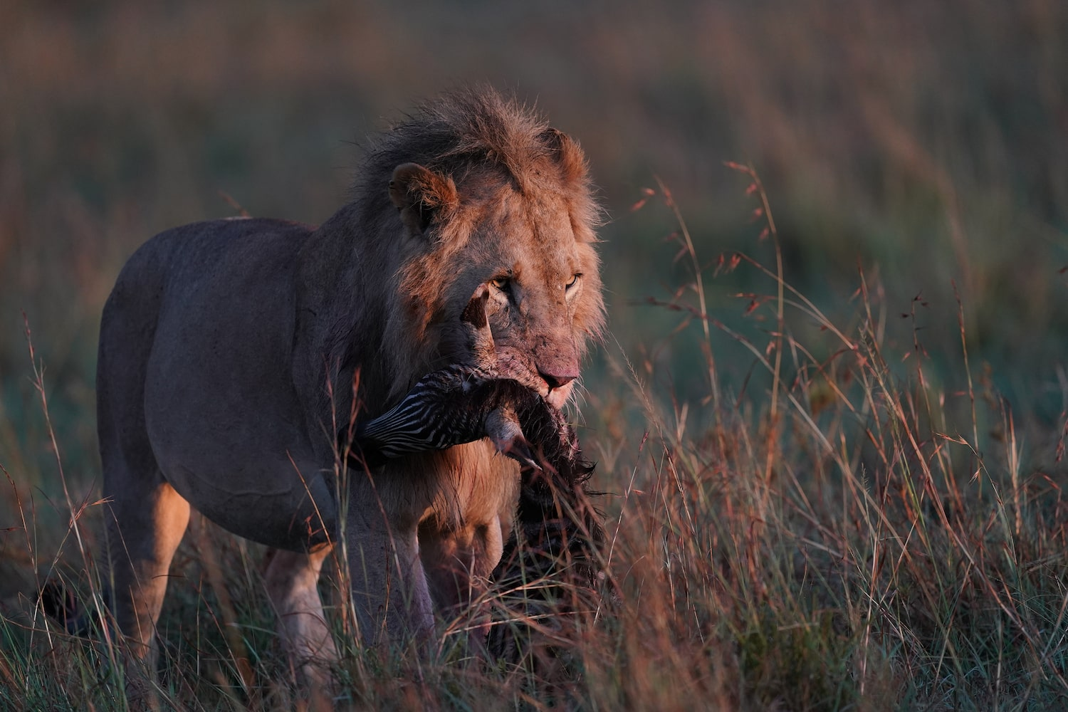 lion-moving-with-prey-in-mouth-alpha-9