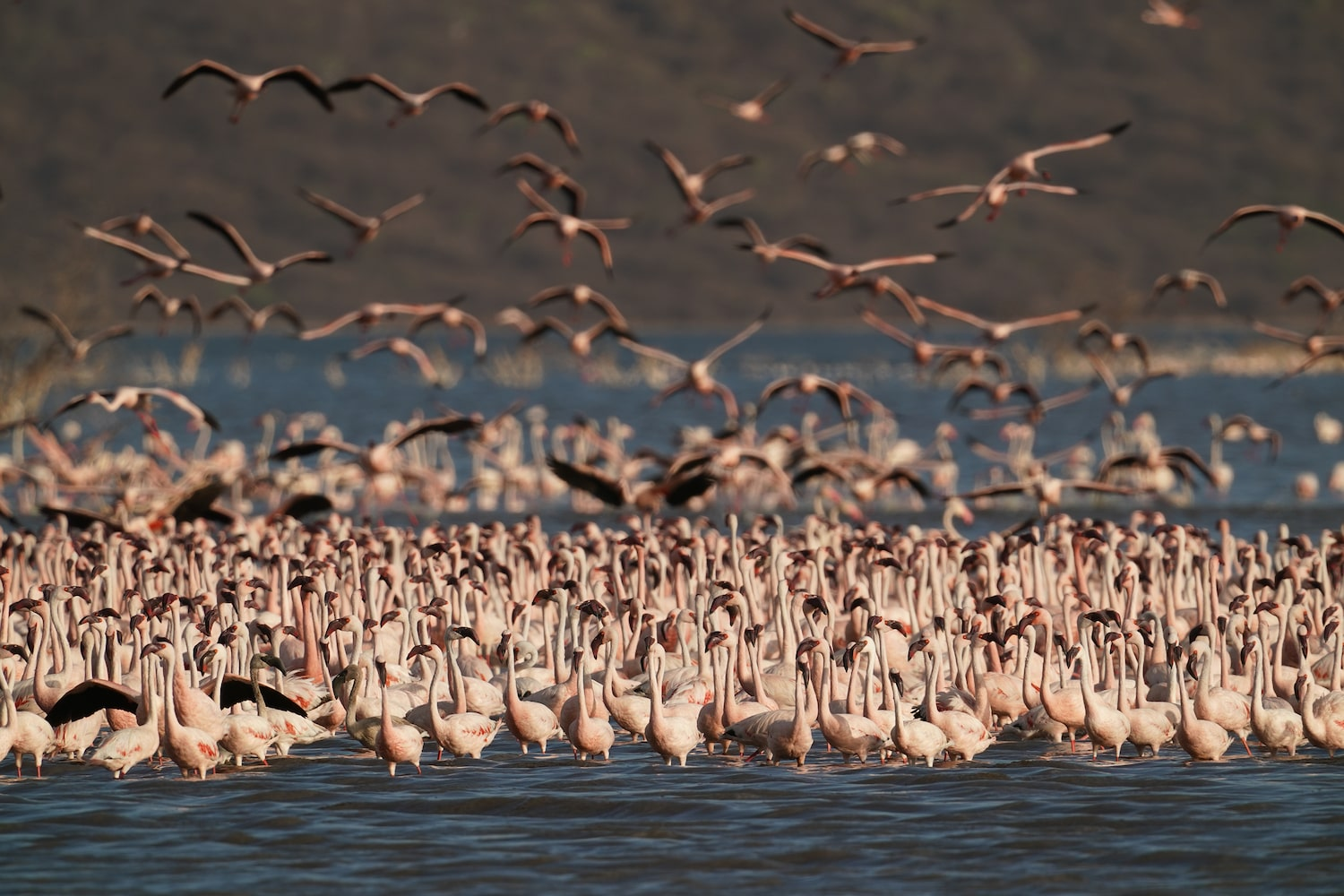 flock-of-flamingos-in-lake-in-the-golden-hour-alpha-7III