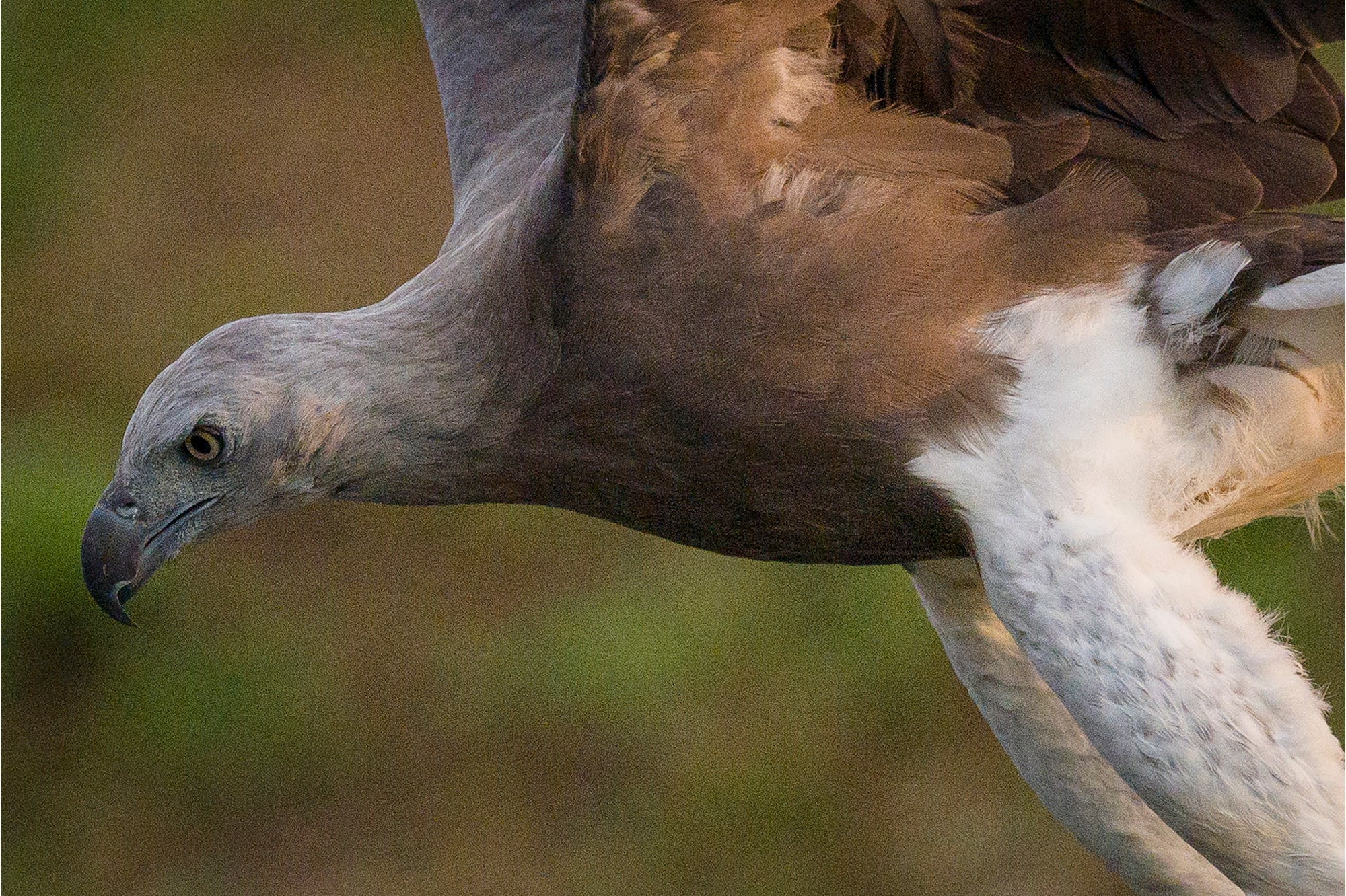 Sony Alpha 7R IV's Real-time Eye Tracking with animal eye locks on flying Grey-Headed Fish Eagle.