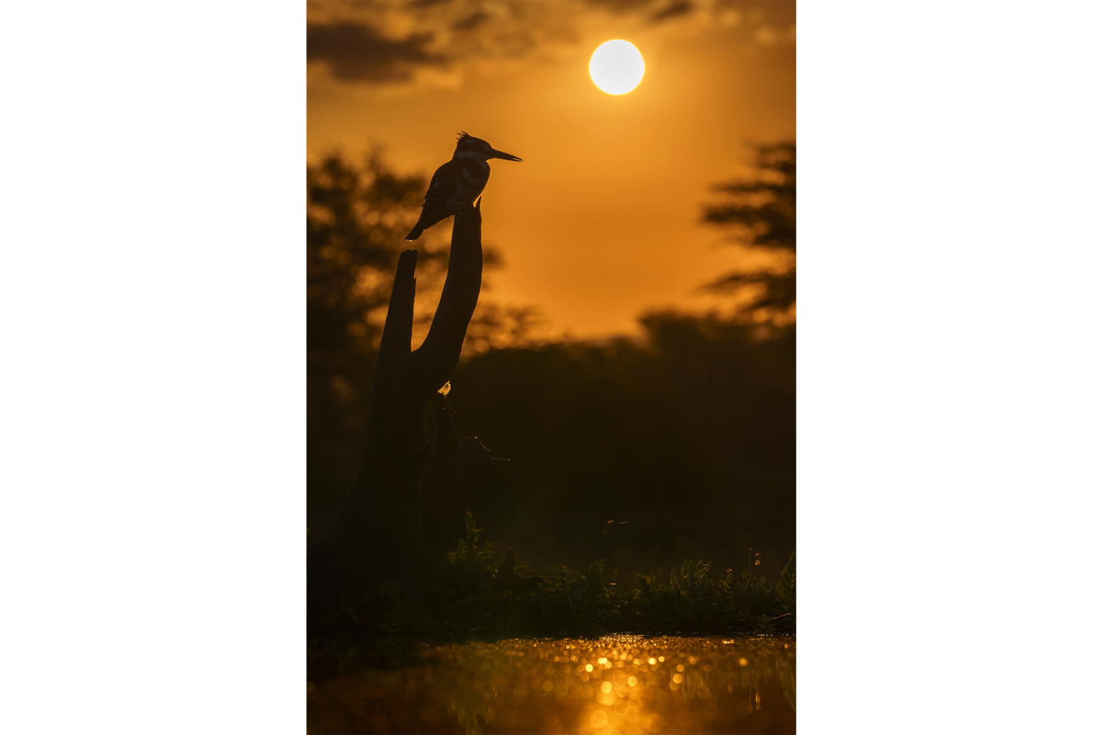 kingfisher on branch with sun setting alpha 9